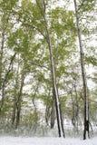 Πράσινα δέντρα στο χιόνι _ άνοιξη της Σιβηρίας Στοκ Φωτογραφία