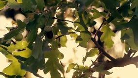 Πράσινα δρύινα φύλλα στο ηλιοβασίλεμα στο δάσος φθινοπώρου φιλμ μικρού μήκους