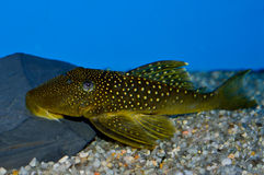 Πράσινα επισημασμένα φανταστικά ψάρια Pleco Στοκ Φωτογραφίες