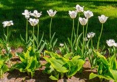 Πράσινα ευρέα φύλλα κοντά στο έδαφος στους juicy μίσχους που τεντώνουν προς τα πάνω πάνω από ποια όμορφα άσπρα λουλούδια εκθέστε Στοκ φωτογραφία με δικαίωμα ελεύθερης χρήσης