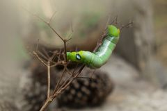 Πράσινα ζώα καμπιών σκουληκιών στο υπόβαθρο θαμπάδων κώνων ξύλου και πεύκων στοκ φωτογραφία