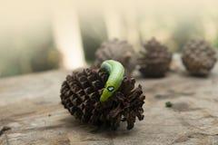 Πράσινα ζώα καμπιών σκουληκιών στο υπόβαθρο θαμπάδων κώνων ξύλου και πεύκων στοκ εικόνες