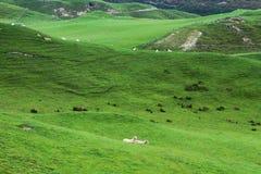 Πράσινα λιβάδια και πρόβατα Στοκ εικόνες με δικαίωμα ελεύθερης χρήσης