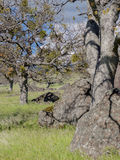 Πράσινα λιβάδια στα βουνά με τα δρύινα δέντρα Στοκ Εικόνες