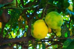 Πράσινα κίτρινα λεμόνια που κρεμούν σε ένα δέντρο Στοκ Εικόνες