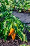 Πράσινα και κίτρινα νέα πιπέρια που αυξάνονται σε έναν τομέα ή μια φυτεία Εκλεκτική εστίαση Στοκ εικόνα με δικαίωμα ελεύθερης χρήσης