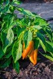 Πράσινα και κίτρινα νέα πιπέρια που αυξάνονται σε έναν τομέα ή μια φυτεία Εκλεκτική εστίαση Στοκ φωτογραφία με δικαίωμα ελεύθερης χρήσης