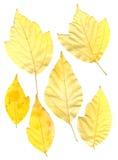 Πράσινα και κίτρινα πιεσμένα φύλλα σφενδάμου Στοκ εικόνες με δικαίωμα ελεύθερης χρήσης