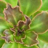 Πράσινα και κόκκινα διακοσμητικά φύλλα κάκτων κάνναβης Στοκ φωτογραφία με δικαίωμα ελεύθερης χρήσης