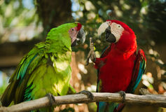 Πράσινα και κόκκινα φτερωτά macaws Στοκ εικόνες με δικαίωμα ελεύθερης χρήσης
