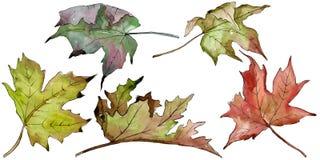 Πράσινα και κόκκινα φύλλα σφενδάμου Watercolor Floral φύλλωμα βοτανικών κήπων φυτών φύλλων Απομονωμένο στοιχείο απεικόνισης ελεύθερη απεικόνιση δικαιώματος