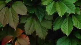 Πράσινα και κόκκινα φύλλα του σταφυλιού απόθεμα βίντεο