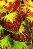 Πράσινα και κόκκινα φύλλα. Στοκ φωτογραφία με δικαίωμα ελεύθερης χρήσης