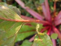 Πράσινα και ρόδινα φύλλα παντζαριών στοκ εικόνα