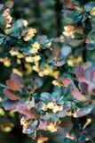 Πράσινα και burgundy φύλλα Barberry Tunberga ` Carmen ` θάμνων Στοκ φωτογραφίες με δικαίωμα ελεύθερης χρήσης