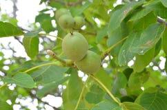 Πράσινα καρύδια Στοκ Εικόνες