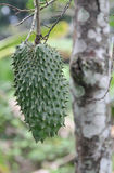 Πράσινα κατασκευασμένα φρούτα guanabana με το δέντρο Στοκ Εικόνα