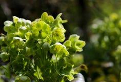 Πράσινα κεφάλια λουλουδιών Hellebore Helleborus Argutifolius Στοκ Εικόνες