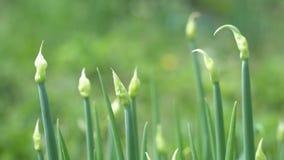 Πράσινα κρεμμύδια στον κήπο απόθεμα βίντεο