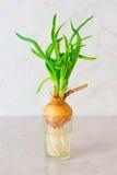 Πράσινα κρεμμύδια με τις ρίζες στο ποτήρι του νερού Στοκ φωτογραφίες με δικαίωμα ελεύθερης χρήσης