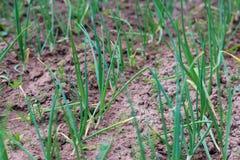 Πράσινα κρεμμύδια που αναπτύσσουν στον κήπο Στοκ φωτογραφία με δικαίωμα ελεύθερης χρήσης