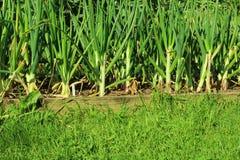 Πράσινα κρεμμύδια στο χώμα Στοκ Εικόνες