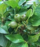 Πράσινα λεμόνια μωρών στο δέντρο λεμονιών Στοκ φωτογραφίες με δικαίωμα ελεύθερης χρήσης