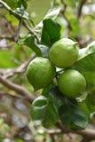 πράσινα λεμόνια Στοκ Φωτογραφία
