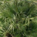 Πράσινα λεπτά μακριά φύλλα Φυτό με το στενό φύλλο στοκ φωτογραφία με δικαίωμα ελεύθερης χρήσης