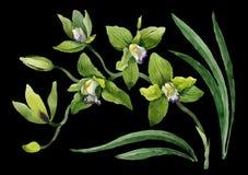 Πράσινα λουλούδια ορχιδεών Watercolor Floral βοτανικό λουλούδι Απομονωμένο στοιχείο απεικόνισης στοκ φωτογραφία με δικαίωμα ελεύθερης χρήσης