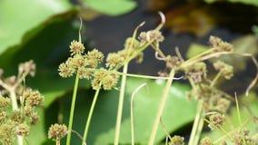Πράσινα λουλούδια του Cyperaceae, τα οποία ταλαντεύονται στον αέρα σε μια λίμνη λωτού απόθεμα βίντεο