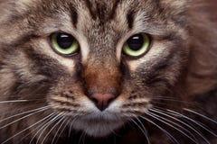 Πράσινα μάτια γατών στη στενή επάνω φωτογραφία Στοκ φωτογραφία με δικαίωμα ελεύθερης χρήσης