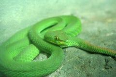 Πράσινα μάτια οχιών κοιλωμάτων. Στοκ Εικόνα