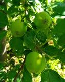 Πράσινα μήλα στοκ εικόνες με δικαίωμα ελεύθερης χρήσης