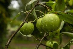Πράσινα μήλα σε έναν κλάδο με τις πτώσεις νερού στοκ φωτογραφία με δικαίωμα ελεύθερης χρήσης