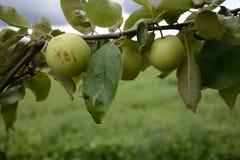Πράσινα μήλα σε έναν κλάδο Apple-δέντρων στον κήπο Στοκ φωτογραφία με δικαίωμα ελεύθερης χρήσης