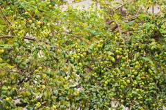 Πράσινα μήλα στον κλάδο Apple-δέντρων, Louangphabang, Λάος Κινηματογράφηση σε πρώτο πλάνο Στοκ Εικόνες