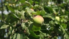 Πράσινα μήλα στο δέντρο οργανικά φρούτα τα όμορφα μήλα ωριμάζουν σε έναν κλάδο στις ακτίνες του ήλιου _ απόθεμα βίντεο