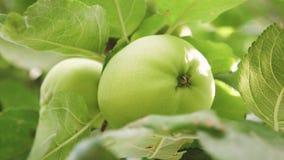 Πράσινα μήλα στο δέντρο E Μήλα στο δέντρο τα όμορφα μήλα ωριμάζουν σε έναν κλάδο στις ακτίνες του ήλιου απόθεμα βίντεο