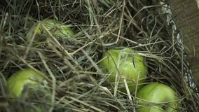 Πράσινα μήλα στο σανό Καλάθι με τα μήλα που βρίσκονται στο σανό Τα Juicy ώριμα μήλα και τα αχλάδια βάζουν τη θωρακική συγκομιδή τ Στοκ Εικόνα