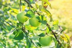 Πράσινα μήλα σε έναν κλάδο Στοκ Φωτογραφία