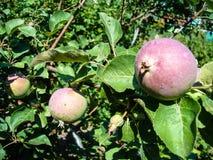 Πράσινα μήλα σε έναν κλάδο Apple-δέντρων στον κήπο Στοκ Εικόνες