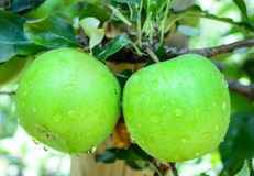 Πράσινα μήλα σε ένα δέντρο σε έναν οπωρώνα Στοκ φωτογραφίες με δικαίωμα ελεύθερης χρήσης