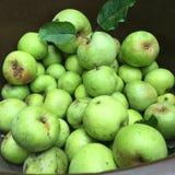 Πράσινα μήλα Στοκ Εικόνες