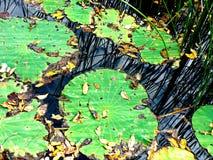 Πράσινα μαξιλάρια κρίνων με τις χλόες Στοκ φωτογραφία με δικαίωμα ελεύθερης χρήσης