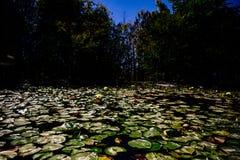 Πράσινα μαξιλάρια κρίνων που επιπλέουν στην επιφάνεια μιας λίμνης Στοκ Εικόνα