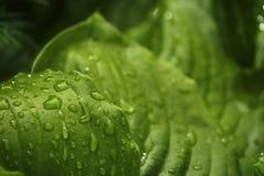 Πράσινα μεγάλα φύλλα μετά από τη βροχή closeup πράσινη άνοιξη ανασκόπησης Στοκ Εικόνα