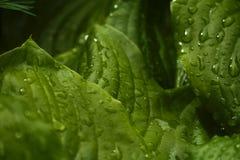 Πράσινα μεγάλα φύλλα μετά από τη βροχή closeup πράσινη άνοιξη ανασκόπησης Στοκ Φωτογραφίες