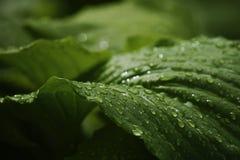 Πράσινα μεγάλα φύλλα μετά από τη βροχή closeup πράσινη άνοιξη ανασκόπησης Στοκ Φωτογραφία