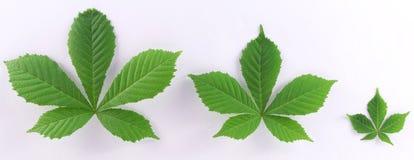 πράσινα μεγέθη τρία φύλλων Στοκ Εικόνες